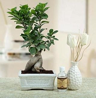 Ginseng ficus bonsai  Gümüşhane çiçek servisi , çiçekçi adresleri