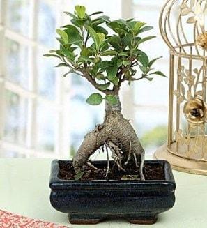 Appealing Ficus Ginseng Bonsai  Gümüşhane çiçek gönderme sitemiz güvenlidir
