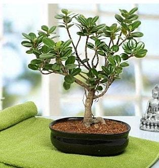 Lovely Ficus Iceland Bonsai  Gümüşhane çiçek gönderme sitemiz güvenlidir