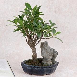 Japon ağacı Evergreen Ficus Bonsai  Gümüşhane çiçekçiler