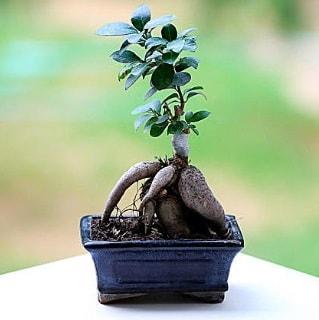 Marvellous Ficus Microcarpa ginseng bonsai  Gümüşhane kaliteli taze ve ucuz çiçekler