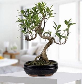 Gorgeous Ficus S shaped japon bonsai  Gümüşhane hediye çiçek yolla