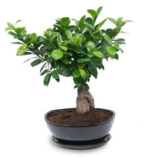 Ginseng bonsai ağacı özel ithal ürün  Gümüşhane çiçek online çiçek siparişi