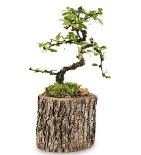 Doğal kütükte S bonsai ağacı  Gümüşhane cicek , cicekci