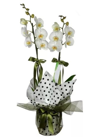 Çift Dallı Beyaz Orkide  Gümüşhane İnternetten çiçek siparişi