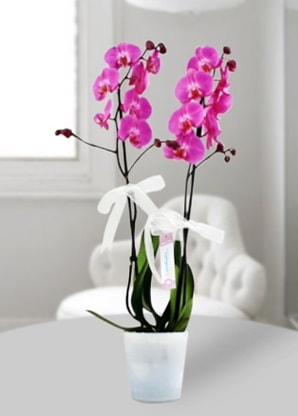 Çift dallı mor orkide  Gümüşhane çiçek servisi , çiçekçi adresleri