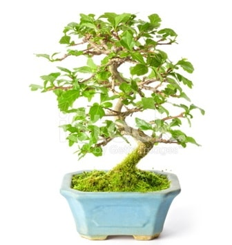 S zerkova bonsai kısa süreliğine  Gümüşhane internetten çiçek satışı