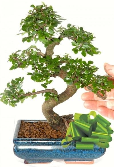 Yaklaşık 25 cm boyutlarında S bonsai  Gümüşhane hediye sevgilime hediye çiçek
