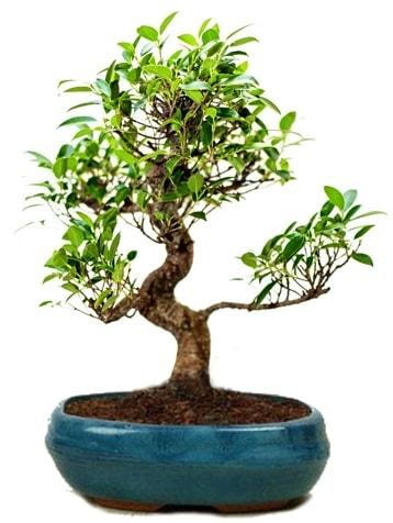 25 cm ile 30 cm aralığında Ficus S bonsai  Gümüşhane çiçekçiler