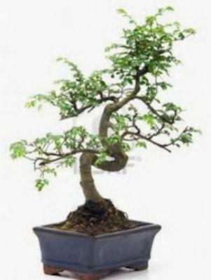 S gövde bonsai minyatür ağaç japon ağacı  Gümüşhane cicek , cicekci