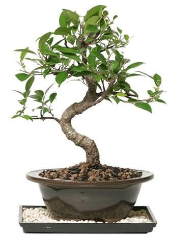 Altın kalite Ficus S bonsai  Gümüşhane online çiçek gönderme sipariş  Süper Kalite