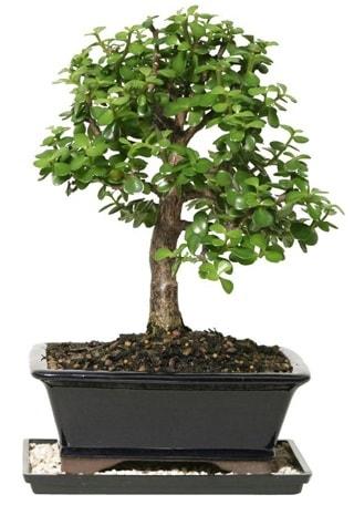 15 cm civarı Zerkova bonsai bitkisi  Gümüşhane hediye sevgilime hediye çiçek