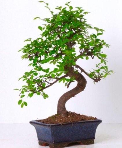 S gövdeli bonsai minyatür ağaç japon ağacı  Gümüşhane çiçekçiler