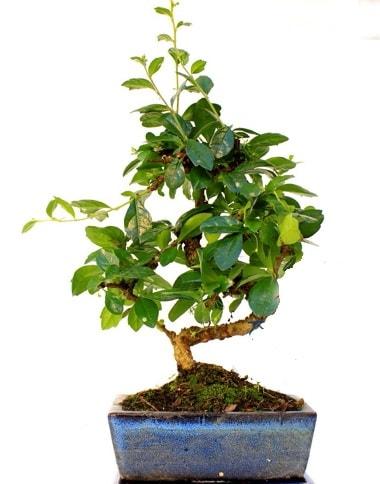 S gövdeli carmina bonsai ağacı  Gümüşhane internetten çiçek siparişi  Minyatür ağaç