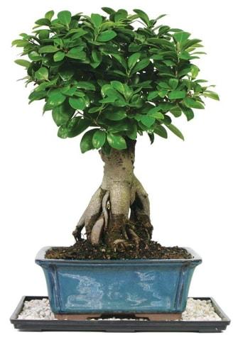 Bonsai Ginsing Grafted Ficus Bonsai  Gümüşhane internetten çiçek siparişi