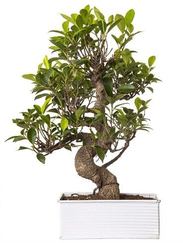 Exotic Green S Gövde 6 Year Ficus Bonsai  Gümüşhane çiçekçiler