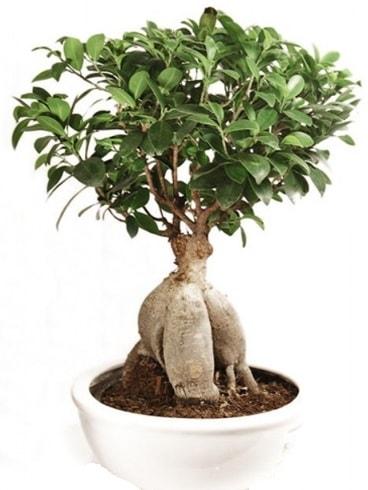 Ginseng bonsai japon ağacı ficus ginseng  Gümüşhane internetten çiçek satışı